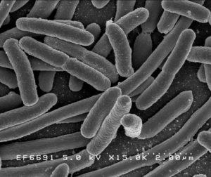 Escherichia Coli, une bactérie de l'intestin